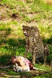 Ghepardo nel Serengeti Fotografie Stock