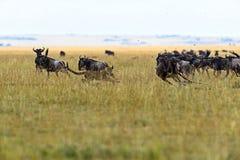 Ghepardo nella savanna africana immagine stock libera da diritti