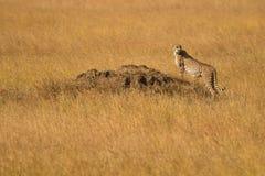 Ghepardo nelle pianure di Serengeti fotografia stock