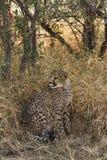 Ghepardo in Okonjima, Namibia, Africa Fotografie Stock