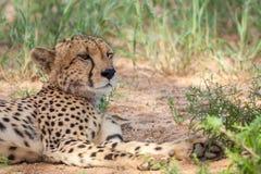 Ghepardo pericoloso che riposa nell'ombra fotografie stock libere da diritti