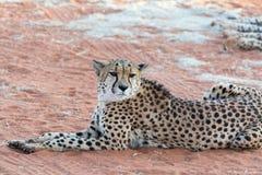 Ghepardo pigro (Gepard) Fotografia Stock