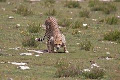Ghepardo pronto ad attaccare sul Serengeti fotografie stock