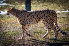 Ghepardo selvaggio che cammina attraverso il campo durante il giorno di inverno Fotografia Stock