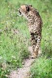 Ghepardo selvaggio (jubatus di acinonyx) Immagini Stock