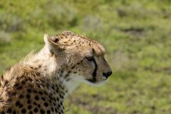 Ghepardo in Serengeti Immagini Stock Libere da Diritti