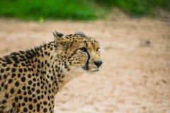 ghepardo Su di aspetto Immagine Stock Libera da Diritti