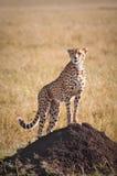 Ghepardo sul monticello della termite Fotografie Stock