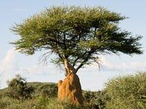 Ghepardo sul monticello sotto l'albero, Namibia Fotografie Stock Libere da Diritti