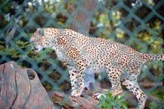 Ghepardo sull'albero nel parco della fauna selvatica di fota immagine stock