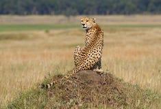 Ghepardo sull'allerta, Masai Mara, Kenia Immagini Stock Libere da Diritti