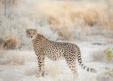 Ghepardo sull'allerta, parco nazionale di Etosha, Namibia Fotografie Stock Libere da Diritti