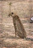 Ghepardo in Thornybush Fotografie Stock