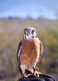 Gheppio americano variopinto Sparrowhawk Fotografie Stock