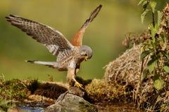 Gheppio comune che cerca piccolo topo, tinnunculus di Falco Immagini Stock Libere da Diritti