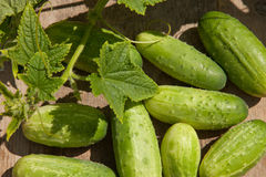 Gherkins. Fresh harvested green gherkins on the wood sunny day Royalty Free Stock Image