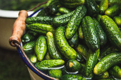 Gherkins. Fresh small gherkins in the bucket Royalty Free Stock Photography