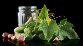 Gherkins in jar preparate for pickling on black. Gherkins in jar preparate for pickling with flower bud,leaves,jar,garlic,dill flowers and tendrils isolated on Royalty Free Stock Photo
