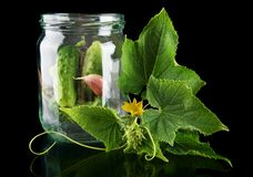 Gherkins in jar preparate for pickling on black. Gherkins in jar preparate for pickling with flower bud,leaves,jar,garlic,dill flowers and tendrils isolated on Stock Photos