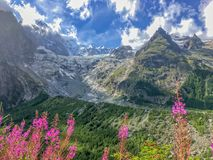 Ghiacciaio di Miage, epilobi rosa, la valle d'Aosta Italia Fotografia Stock