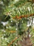 Ghiaccio che si fonde sugli aghi del pino in foresta Immagini Stock