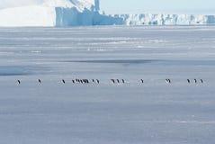 Ghiaccio e pinguini antartici Adeli Fotografia Stock