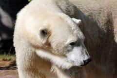 Ghiaccio o Polarbear fotografia stock libera da diritti