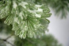 Ghiaccio sull'albero di pino Fotografia Stock