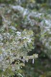 Ghiaccio sulla pianta Fotografia Stock