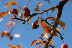 Ghiaccioli che aderiscono alle foglie di un albero del Wyoming immagini stock