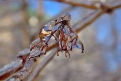 Ghiaccioli sul ramoscello dopo pioggia congelantesi Immagine Stock Libera da Diritti