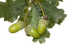 Ghianda della quercia Immagini Stock Libere da Diritti