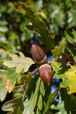 Ghianda della quercia Immagine Stock Libera da Diritti