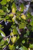 Ghianda della quercia di Holm Immagini Stock Libere da Diritti