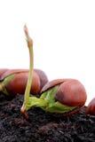 Ghianda e quercia rossa Immagini Stock