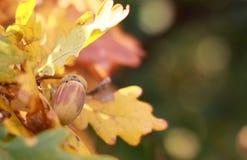 Ghianda sulla quercia Immagini Stock