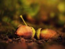 Ghianda sulla terra, concetto di autunno Fotografia Stock Libera da Diritti