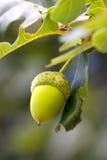 Ghianda verde sull'albero fotografia stock libera da diritti