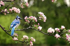 Ghiandaia azzurra americana 5 Fotografie Stock Libere da Diritti