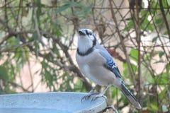 Ghiandaia azzurra americana alla vaschetta per i uccelli Immagini Stock
