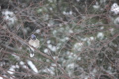 Ghiandaia azzurra americana di inverno nella neve Fotografia Stock