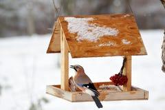 Ghiandaia euroasiatica sull'alimentatore dell'uccello di inverno Immagine Stock Libera da Diritti