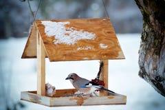 Ghiandaia euroasiatica sull'alimentatore dell'uccello di inverno Immagini Stock Libere da Diritti