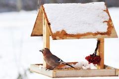 Ghiandaia euroasiatica sull'alimentatore dell'uccello di inverno Fotografia Stock