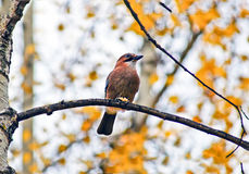 Ghiandaia selvaggia dell'uccello su un ramo. Immagini Stock