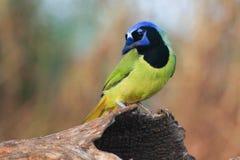Ghiandaia verde che guarda al suo lato fotografie stock libere da diritti