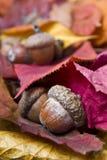 Ghiande con l'autunno Immagine Stock