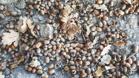 Ghiande della quercia sulla terra, autunno, sfondo naturale, fotografia stock libera da diritti