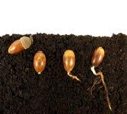 Ghiande di germinazione Immagine Stock