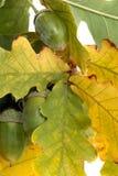 Ghiande e fogli della quercia Fotografia Stock
